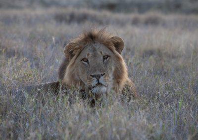 Löwe in Lewa