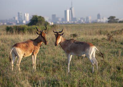 Gazellen vor Nairobi