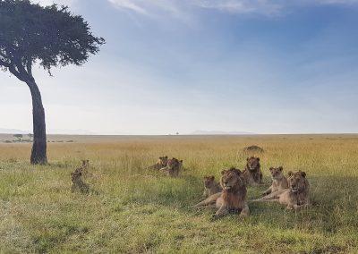 Löwen in der Masai Mara