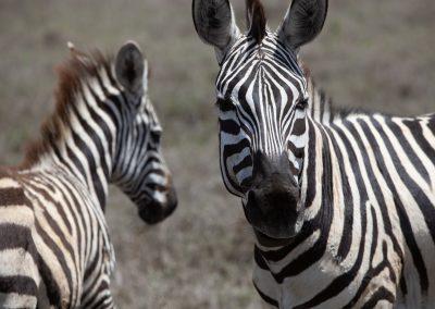 Zebras in Lewa