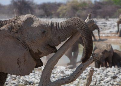 Elefanten, Etosha, Namibia