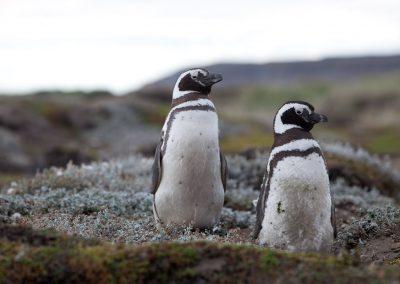 Pinguine im Süden, Chile