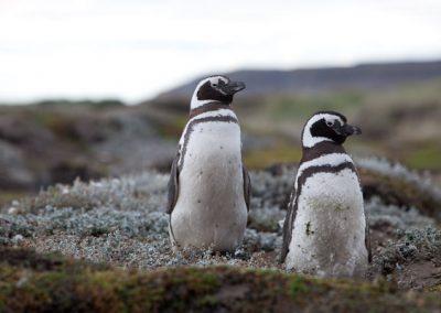 Pinguin, Tiere