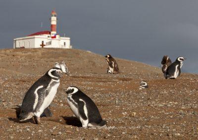 Pinguine auf der Isla Magdalena, Chile