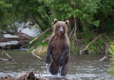 Bär beim fischen, Kamtschatka, Russland
