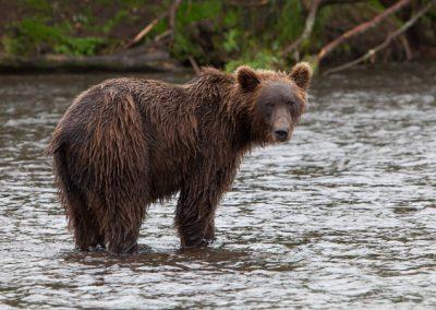 Bär, Tiere