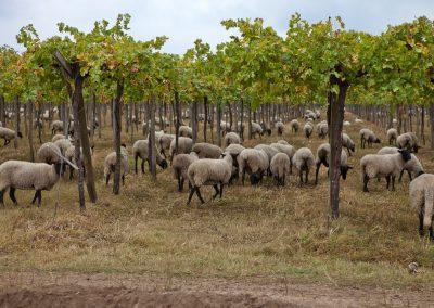Schafe im Weingarten, Chile