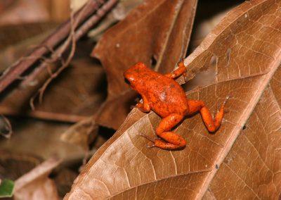 Ein fingernagelgroßer Frosch im Urwald, Costa Rica