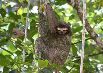 Faultier, Costa Rica
