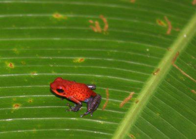 Fingernagelgroßer Pfeilgiftfrosch im Urwald, Costa Rica