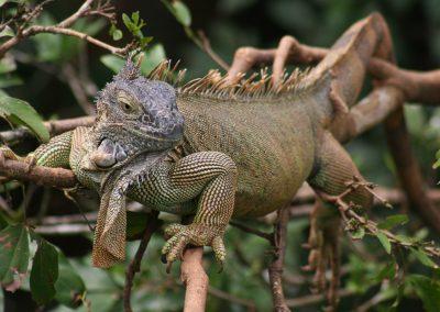 Leguan sonnt sich auf den Ästen, Costa Rica