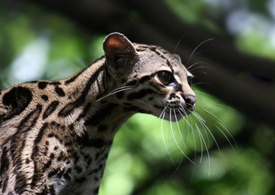 Katze, Costa Rica