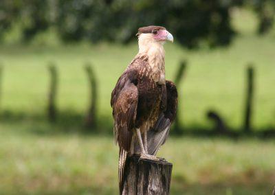 Adler, Costa Rica