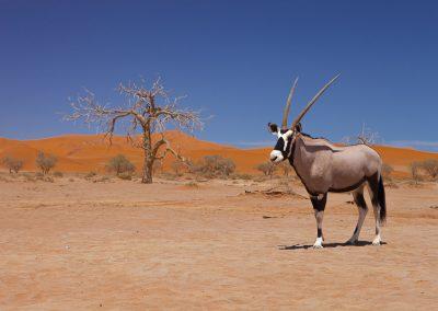 Oryx in der Namib Wüste, Namibia