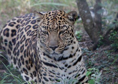 Leopard, Tiere