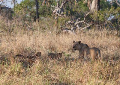 Botswana, Löwenbaby