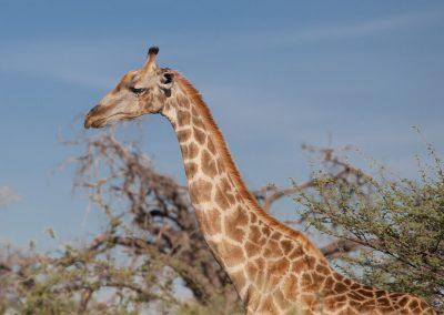 Botswana, Giraffe