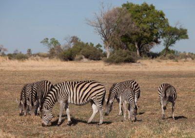 Botswana, Zebras