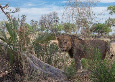 Botswana, Löwe