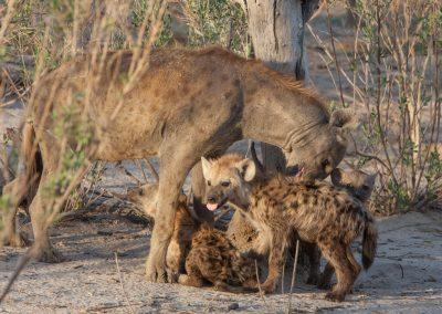 Botswana, Hyänenbabys