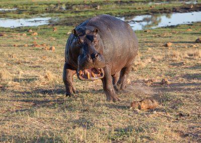 Botswana, Nilpferd