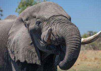 Botswana, Elefant