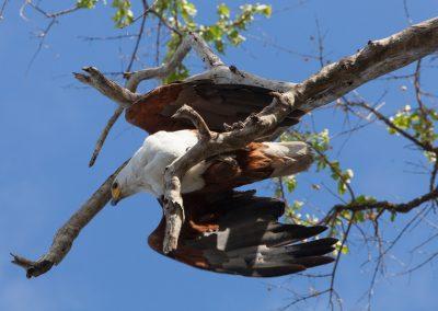 Botswana, Fischadler