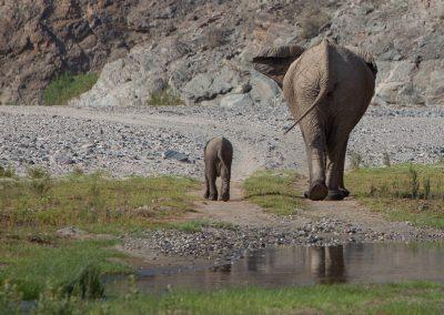 Wüstenelefanten, Purros, Namibia