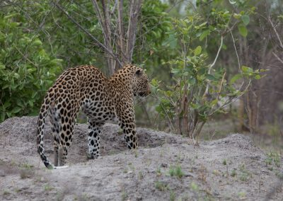 Botswana, Leopard
