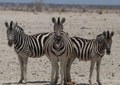 3 Zebras, Etosha NP, Namibia
