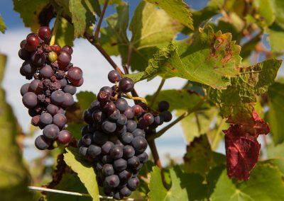 Trauben im Weingarten, Champagne, Frankreich