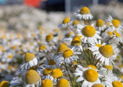 Blumen, Ilulissat, Grönland