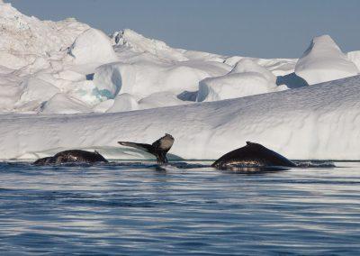 Wal, Grönland