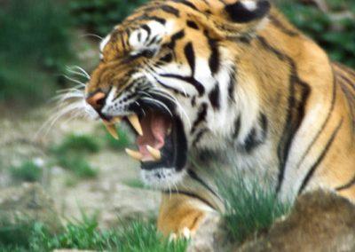 Tiger, Guatemala