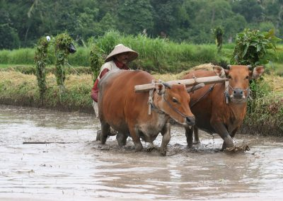 Reisanbau mit Wasserbüffel, Indonesien