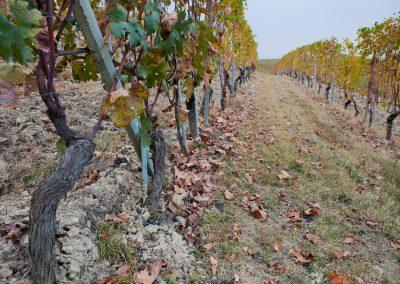 Weingarten, Piemont, Italien