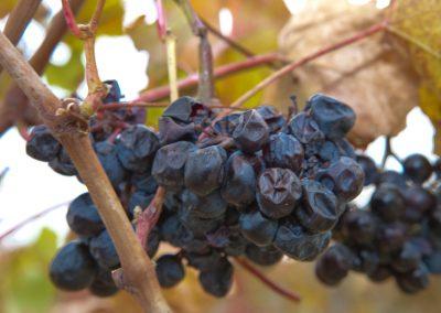Weintrauben, Piemont, Italien