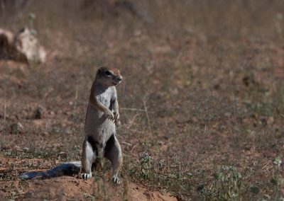 Erdmännchen, Südafrika