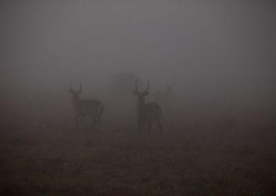 Gazellen im Morgennebel, Südafrika