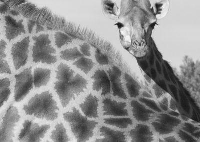 Giraffen, Südafrika