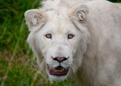 Weißer Löwe, Südafrika
