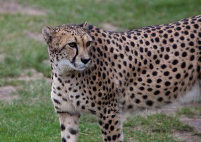 Gepard, Südafrika