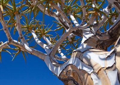 Köcherbaum, Südafrika