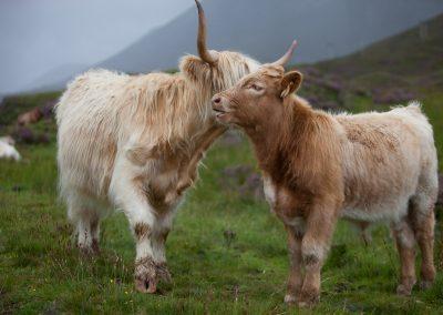 Rinder in Schottland