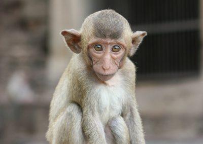 Lop Buri, die Stadt der Affen, Thailand