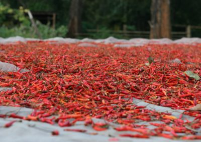 Chili Ernte, Thailand