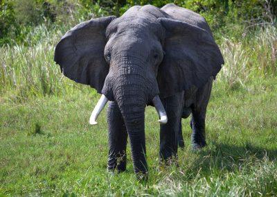 Elefant, Murchison Falls NP, Uganda