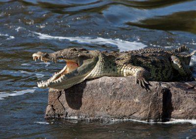 Krokodil, Murchison Falls NP, Uganda