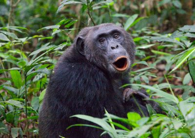 Chimpanse, Uganda