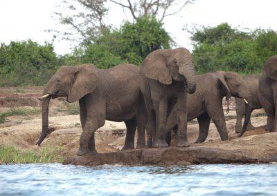 Elefanten, Queen Elisabeth NP, Uganda